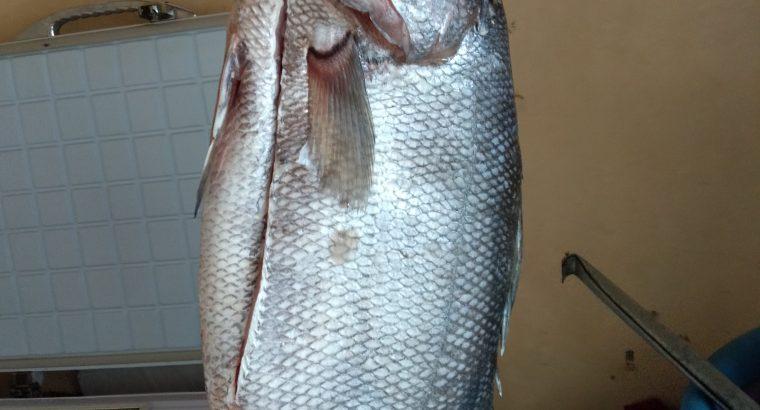 Fresh Nile perch fish ( mbuta)